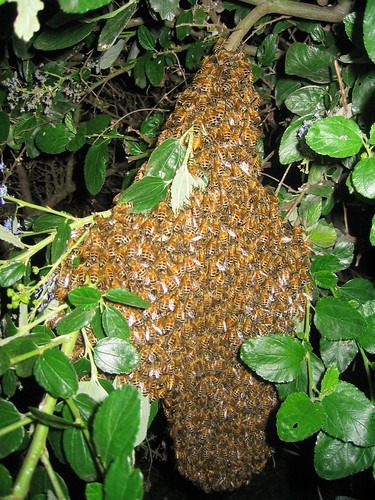 photo d'un essaim d'abeilles (essaim naturel)