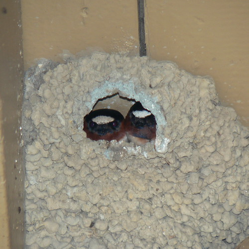 Cliff Swallows in Nest