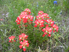Texas Paintbrush