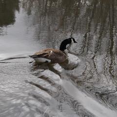 Broken Goose