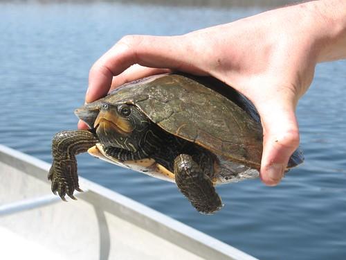 Map Turtle at Long Lake