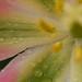Tulipán Folclore Nórdico