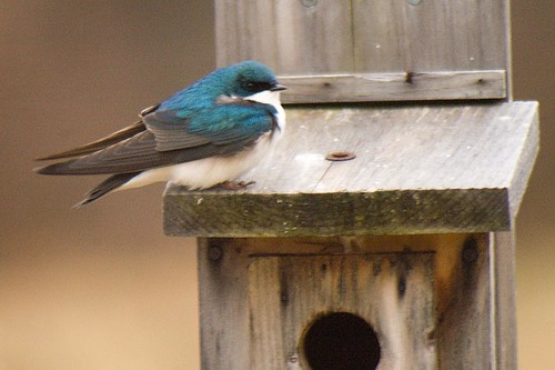 tree swallow on box