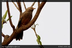 Yellow-Billed-Babbler