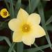 Tulipán el Chino
