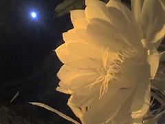 Flor de la Luna 4