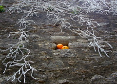 Taronges / Oranges