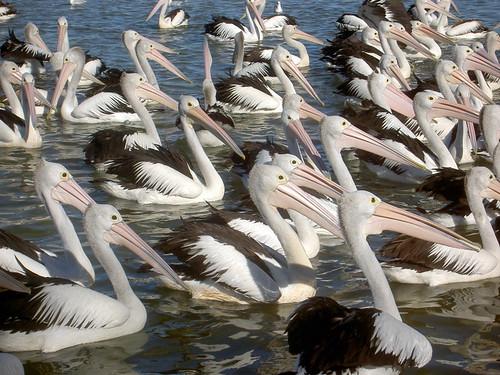 Pelicans FTW!!