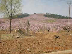 Peach Blossom Hill