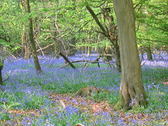 Bluebells in the Chilterns