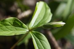White Trillium Bud