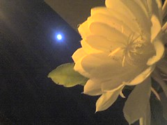 Flor de la la Luna 3