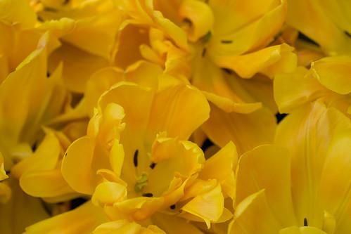 Masa de tulipanes amarillos