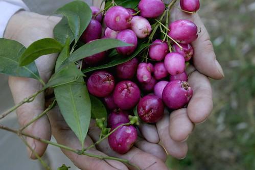 Syzygium paniculatum 040422-5917