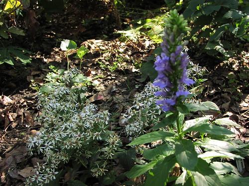 Volunteer lobelia beside white woodland aster
