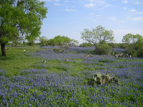 TX Bluebonnets