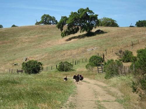 Wild Turkeys, Calero County Park