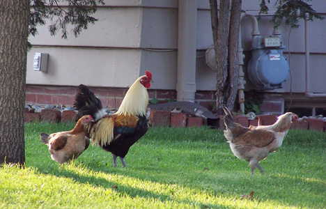 Rooster & Hens