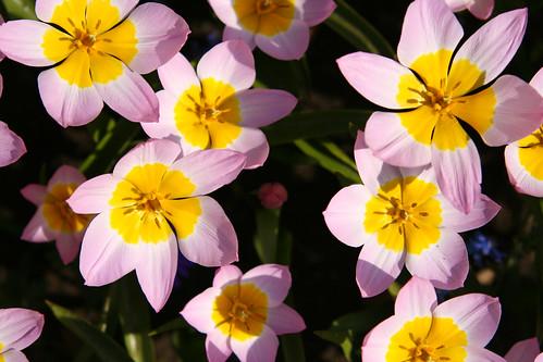 Tulipanes con soles y rosados