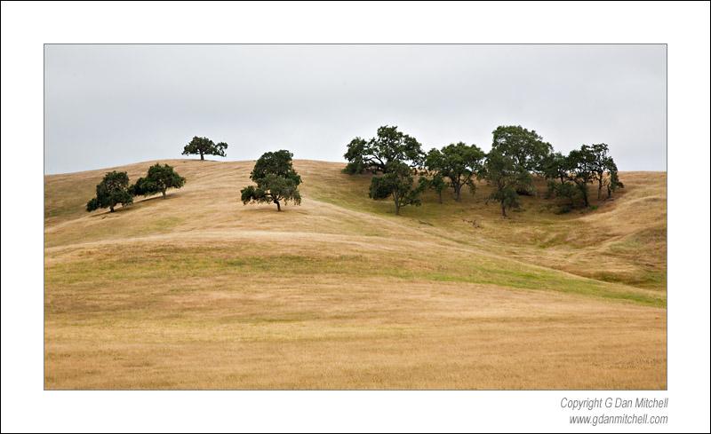Oaks, Coastal Fog - Almaden Hills