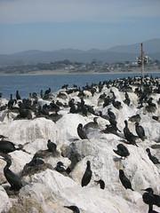 Monterey Birdies