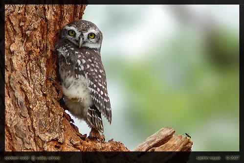 SpottedOwlet