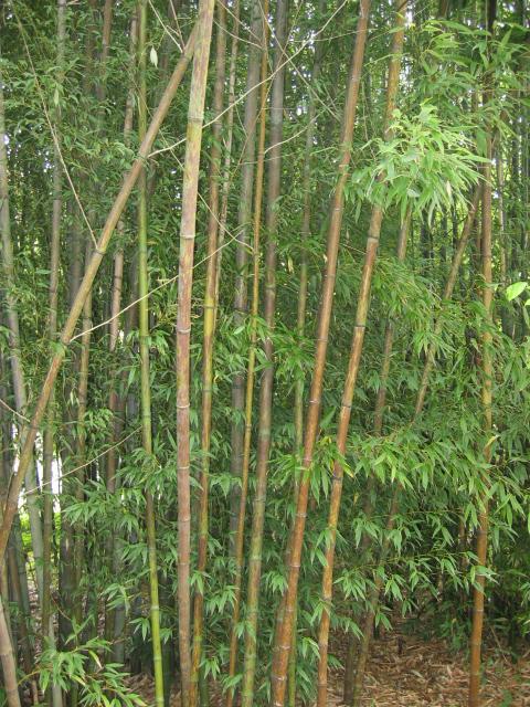 leopard bamboo