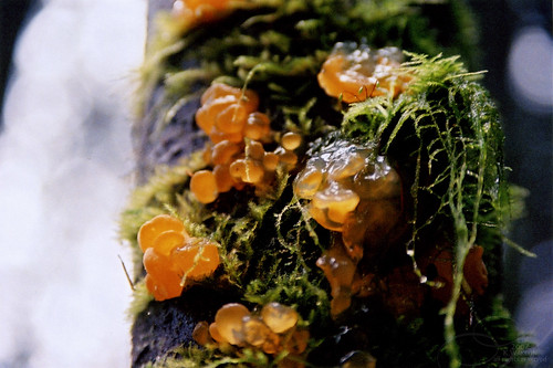 Orange Jelly Fungus