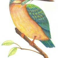 色鉛筆_翠鳥(Kingfisher)
