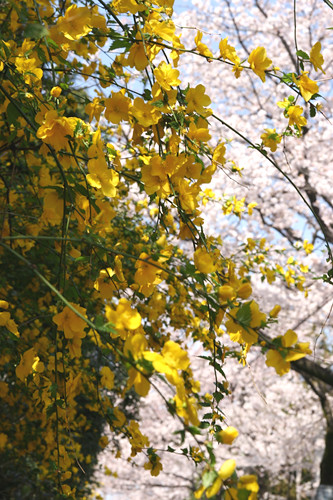 山吹と桜 - Kerria Japonica - Cherry Blossoms - (c) by Koizumi