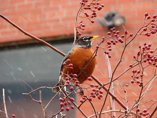 First Robin Means Spring? -- http://www.flickr.com/photos/lexnger/450065527/