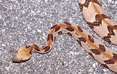 Timber Rattlesnake SE Georgia