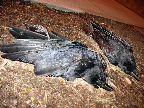 Two Dead Crows on Omen Day