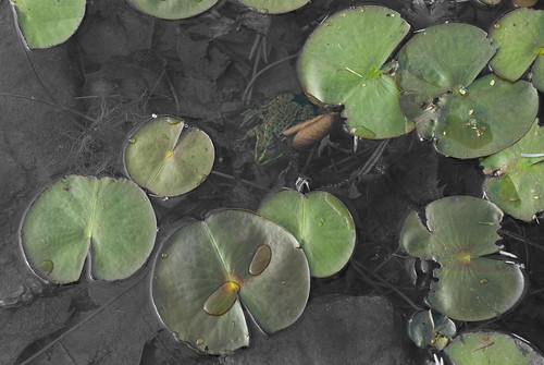 A Frog in the Pond...