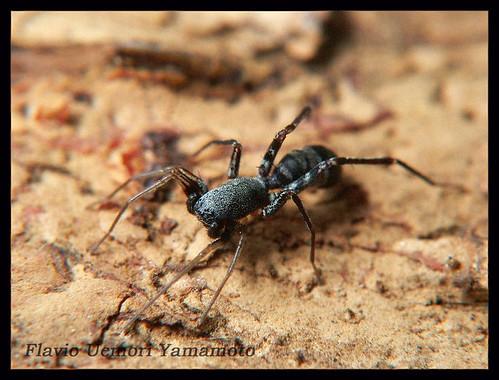Corinnidae - Castianeira sp.