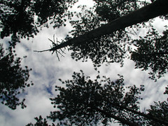 Canopy gap in thinned red pine, Cloquet MN. Click for a better view.