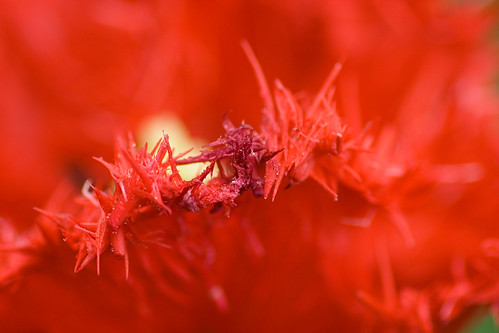 Cresta roja macro