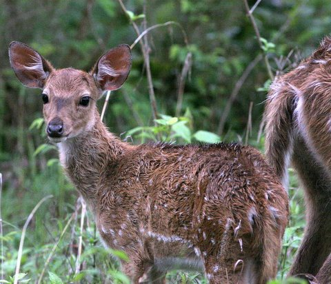 Spotted deer fawn Bandipur