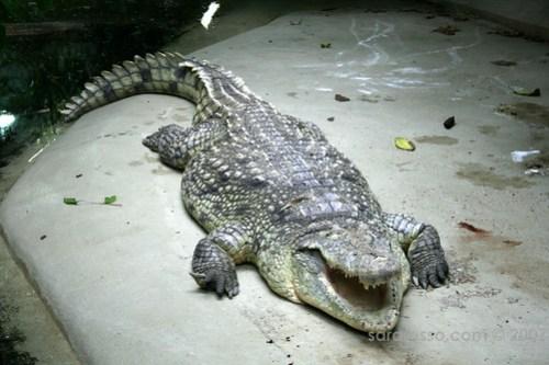 Crusty Croc in Berlin Zoo