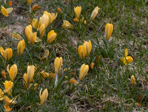 Bed of Yellow Crocus