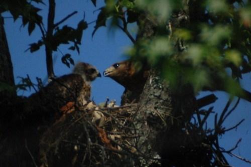 Baby Hawks with Mother