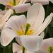 Tulipán Fotos