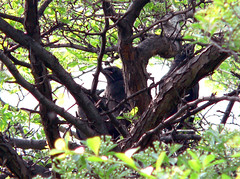 American Crow Chicks