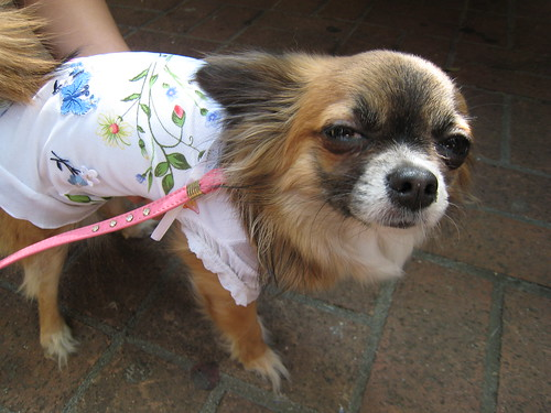 Dog in a flowered top