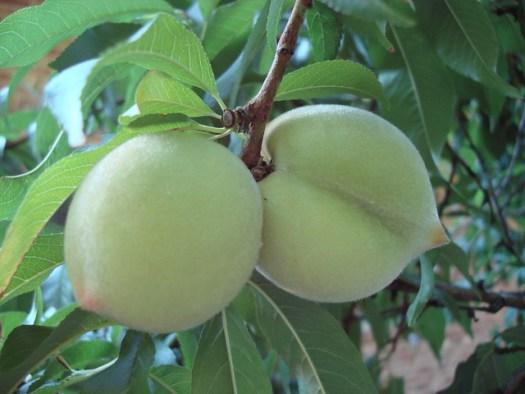 Peaches on Backyard Peach Tree