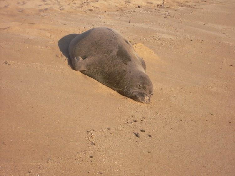 Monk Seal On Poipu Beach