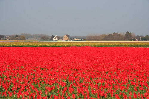 Campo de tulipanes rojos