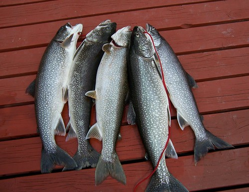 Five nice lake trout.jpg