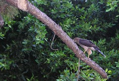 Hawk on a Limb