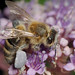 Fully loaded Apis mellifera